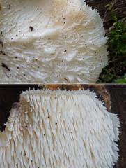 Karvane korallnarmik; Hericium cirrhatum; tupasorakas (urmas ojango) Tags: seened fungi russulales pilvikulaadsed hericiaceae korallnarmikulised hericium hericiumcirrhatum karvanekorallnarmik tupasorakas