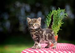 'Rosemary and Skip' (Jonathan Casey) Tags: kitten garden picnic tablecloth tabby nikon d810 105mm f28 vr