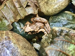 Frog (followmychallenge) Tags: