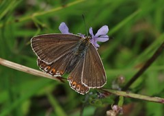 Bläuling (Hugo von Schreck) Tags: hugovonschreck butterfly schmetterling falter macro makro insect insekt bläuling canoneos5dsr tamronsp90mmf28divcusdmacro11f017