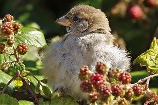 House Sparrow Passer domesticus English sparrow  Youngster Dungeness RSPB !
