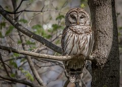 Feeling Blessed (flintframer) Tags: barred owl raptor muscatatuck nwr wildlife nature indiana wow dattilo perched canon eos 7d markii ef600mm 14x