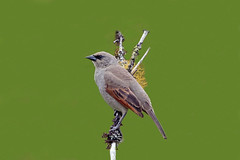 Grayish Baywing/Bay-winged Cowbird (Alan Gutsell) Tags: grayish baywing baywinged cowbird grayishbaywing baywingedcowbird intervales statepark brazilbirds brazil