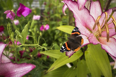 Red Admiral (TrotterFechan) Tags: redadmiral butterfly