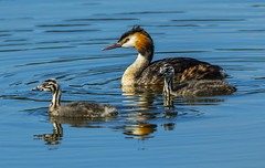 Great crested grebe with two youngsters 2 (Bojan Žavcer) Tags: greatcrestedgrebe podiceps cristatus podicepscristatus čopastiponirek animal wildlife nature canoneos7dmarkii ef600mmf4lisusm greatphotographers blue green orange red eye fauna colorful depthoffield wing abstract color outdoor park water white wild avian beautiful birding space long amazing blur broun exotic fascinant fast flight enviromant perching stick sunlight tailed head lovely canonflickraward