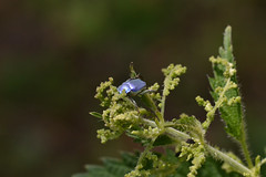 Hoplia coerulea (Hachimaki123) Tags: hopliacoerulea animal insect insecto coleopter coleóptero coleopteran coleoptero coleoptera