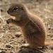 african groundsquirrel Blijdorp BB2A9474