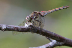 Common darter (Andy Davis Photography) Tags: sympetrumstriolatum commondarter gwäellgyffredin dragonfly perched darter woods river canon manualfocus explored