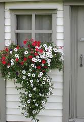 ** Pétunias en cascade ** (Impatience_1) Tags: pétunia petunia fleur flower jardinière fenêtre window m impatience flowerbox wonderfulworldofflowers saveearth supershot coth coth5 ruby5 abigfave fabuleuse