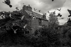 Kingsway Stretford  Manchester  Sept 2017 (The Green Hornet ( Manchester)) Tags: stretford pigeons scattered confusion flight bit birds manchester gritty street photography documentay monochrome blackandwhite ricohgr streets houses rooftop urban suburb victorian northern