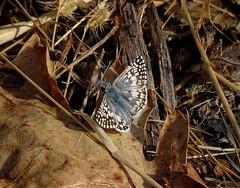 Common Checkered Skipper--Pyrgus communis (Polioptila caerulea) Tags: commoncheckeredskipper pyrguscommunis pyrgus condonpark nevada county california butterfly skipper