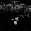Thicket Details 038 (noahbw) Tags: captaindanielwrightwoods d5000 dof nikon abstract blackwhite blackandwhite blur bw dark darkness depthoffield forest landscape leaves light lowlight monochrome natural noahbw quiet shadow square still stillness summer woods thicketdetails