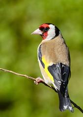 Goldfinch (George Findlay) Tags: goldfinch goldie bird ayrshire nikon