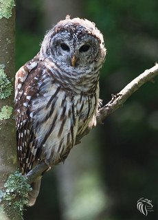 Barred Owls of New Jersey   2017 - 5