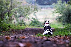 Seriously how much longer? (stellagrimsdale) Tags: dog kia waiting forest forestfloor park path leaves pathway autumn fauna staff staffie green canon 7dwf