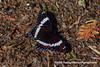 American White Admiral (Limenitis arthemis arthemis) DSC_2346 (fotosynthesys) Tags: americanwhiteadmiral limenitisarthemisarthemis brushfootedbutterfly nymphalidae butterfly insect brucepeninsula ontario canada