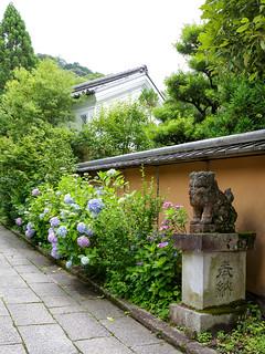 紫陽花 - 大豊神社 / Ootoyo-jinjya Shrine