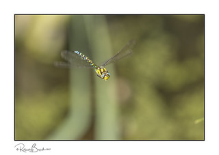 Southern Hawker Dragonfly in flight - full frame