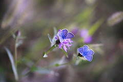 Instant (Macro-photography) Tags: canon 6d tamron 90mm colors nature closeup focus floralart butterfly blu blue lightblue papillons mariposa flores delicate pink flower garden grass soft macrophotography onlyflowers