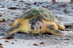 Loggerhead Sea Turtle (Glotzsee) Tags: nature florida indianrivercounty verobeach loggerhead seaturtle loggerheadseaturtle rehabilitation brevardzoo release wildlife marinelife outdoors outside glotzsee glotzseefloridaimages beach roundisland roundislandpark park