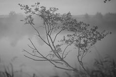 on the river of my childhood IV (Mindaugas Buivydas) Tags: lietuva lithuania bw summer june morning morninglight fog mist tree trees river sunrise favoriteplaces mood moody delta nemunasdelta nemunasdeltaregionalpark nemunodeltosregioninisparkas aukštumala mindaugasbuivydas ontheriverofmychildhood memelland