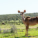 Female Kudu standing next to the bushes