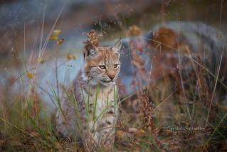 4 months old lynx