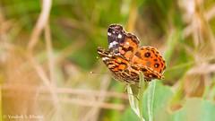 Borboleta (Vanderli S. Ribeiro) Tags: borboleta butterfly natureza nature outdoors vanderlisribeiro vanderlisr nikon