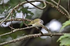 Red-eyed Vireo, Virginia (Dave Govoni) Tags: bird princewilliamcounty revi taxonomy:binomial=vireoolivaceus taxonomy:common=redeyedvireo usa va vireo vireoolivaceus virginia redeyedvireo