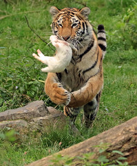 siberian tiger Duisburg BB2A4801 (j.a.kok) Tags: tiger tijger siberischetijger siberiantiger asia azie mammal kat cat predator pantheratigrisaltaica duisburg zoogdier dier animal