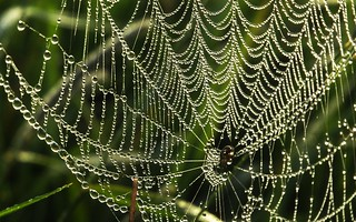 Taubenetzte Spinnweben; Bergenhusen, Stapelholm (9b)