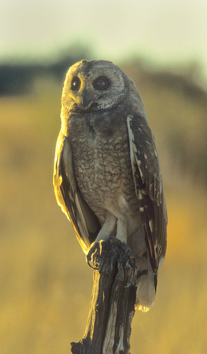 Marsh Owl on hunting perch , Schoondal 3253