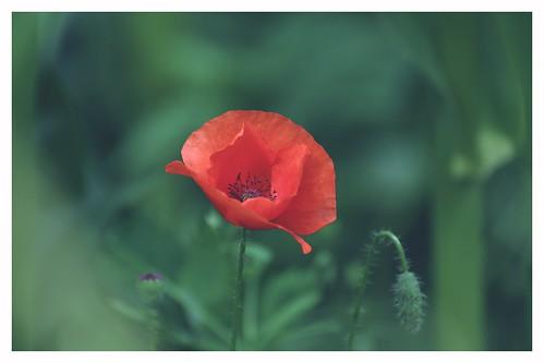 Red poppy....