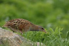 corncrake (simonrowlands) Tags: corncrake crexcrex crake scottishwildlife outerhebrides machire farmlandbird grassland iris beds
