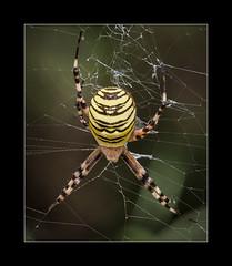 Argiope Aurantia (tkimages2011) Tags: spider black yellow web arachnid argiope aurantia macro stack stacking focus closeup outdoors nature insect canon eos