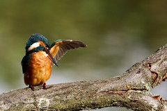 Let me take you under my wing (stuarttuckfield) Tags: kingfisher suffolk canon6d sigmazoom 150600mm birds colours orange perched lakes lackfordlakes