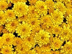 Herbstblumen (Wallus2010) Tags: nahaufnahme herbstblume gelb freude heerbst sonne