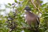 2017-08-24-0363 (BZD1) Tags: houtduif commonwoodpigeon columbapalumbus animal aves columbiformes columbidae columba bird vogel duif nature natuur