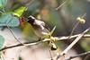 Dark-capped Bulbul (Pycnonotus tricolor) (Asif K7) Tags: bulbul yellow belly berries mulberries garden stealing malawi