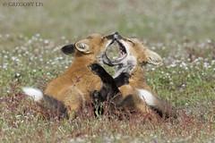 Red Foxes (Gregory Lis) Tags: redfoxes fox gregorylis gorylis grzegorzlis washingtonstate nikond810 nikon