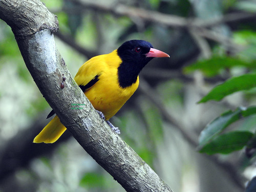 Black-hooded oriole.....