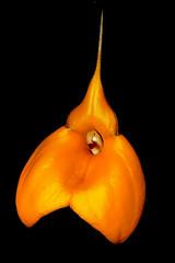 Masdevallia davisii 'Elena' orchid species (nolehace) Tags: masdevallia davisii elena orchid species 817 cultivar summer nolehace fz1000 flower plant bloom sanfrancisco