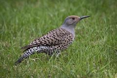 Northern Flicker (Turk Images) Tags: bowrivervalley colaptesauratus inglewoodbirdsanctuary northernflicker alberta birds calgary nofl picidae woodpeckers