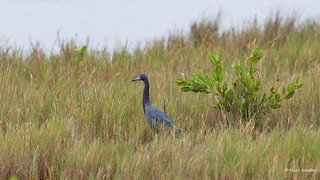 Little Blue Heron, Florida, FL IMG_2165