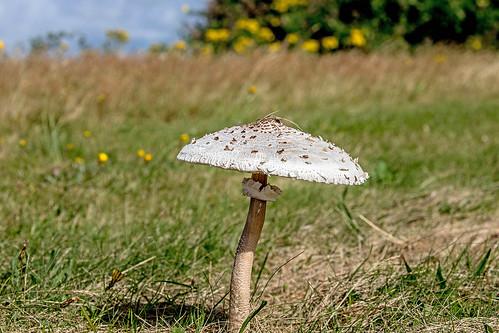 Parasol Mushroom.