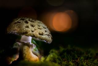 Nacht-Pilz