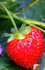Strawberry (paulrosemeyer) Tags: strawberry garden