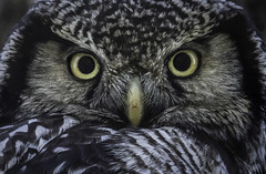 Northern Hawk Owl (www.studebakerstudio.com) Tags: surnia ulula surniaulula northernhawkowl northern hawk owl raptor studebaker dalton haul alaska portrait stare smileonsaturday featheredfriends