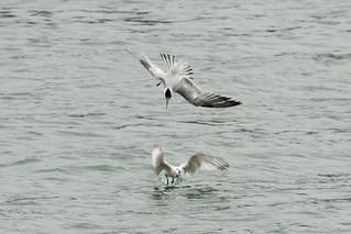 DSC_4732.jpg Elegant Terns, Moss Landing