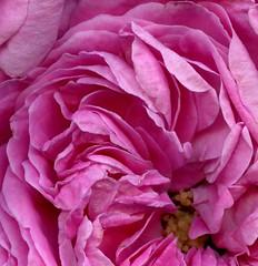 58491.22 Rosa alba 'Queen of Denmark' (horticultural art) Tags: horticulturalart rosaalbaqueenofdenmark rosaalba rosa rose flower closeup macro